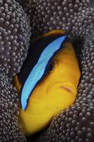 Bluestripe clownfish tucked away in its anenome ho
