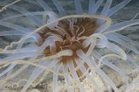 Close-up view of Sand Anemone, Bonaire, Caribbean