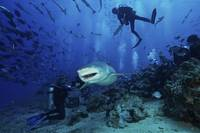 A large Lemon Shark gulps down a large tuna head i