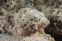 A Juvenile Spotted Scorpionfish camouflaged to its