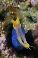 A blue ribbon eel displays its open mouth to the p