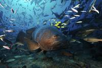 A school of Golden Trevally follow a Giant Grouper