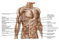 Anatomy of human abdominal muscles