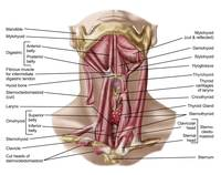 Anatomy of human hyoid bone and muscles, anterior