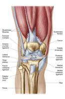 Anatomy of human knee joint
