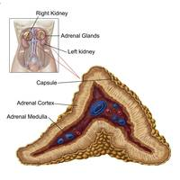Anatomy of adrenal gland, transverse section