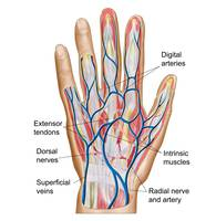 Anatomy of back of human hand
