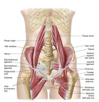 Anatomy of iliopsoa, also known as the dorsal hip