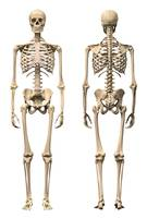 Anatomy of male human skeleton, front view and bac
