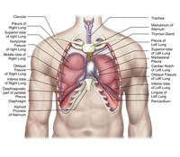 Anatomy of human lungs in situ