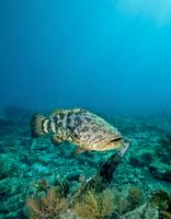 A Goliath Grouper effortlessly floats by a shipwre
