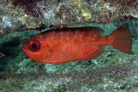 A red Bigeye hovers under a coral reef ledge