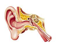 Cutaway diagram of human ear