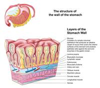 Anatomy of the structure and layers of the stomach