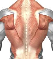 Male muscle anatomy of the human back