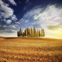 Sunset in a golden field with a row of cypress tre