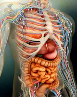 Perspective view of human body, whole organs and b