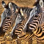 """Three Zebras"" by charlesralston"