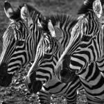 """3 Zebras"" by charlesralston"