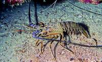 South Atlantic Lobster Outside