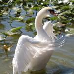 """""""Proud Swan"""" by Groecar"""