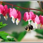 """Bee and Bleeding Hearts"" by sandy"