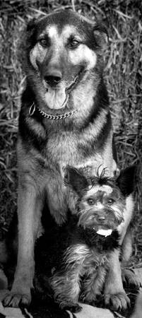 German Shepard and Yorkie