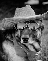German Shepard in sunglasses
