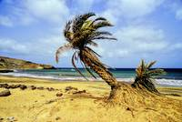 Beautiful Beach, With Crooked Palmtrees