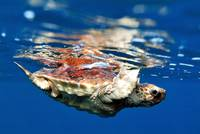 Atlantic Sea Turtle (Caretta caretta)