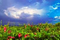 Purple Morning Glory Green Vine Landscape Blue Sky