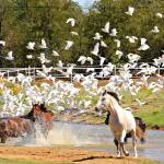 """Horses and Egrets"" by praslicka"