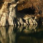 """Cupress Roots - Guadalupe River State Park, TX"" by MarksClickArt"