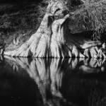 """Guadalupe River Cypress BW"" by MarksClickArt"