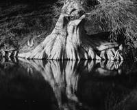 Guadalupe River Cypress BW