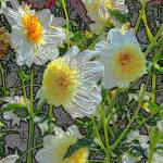 """White and yellow dahlias"" by judithschmidt"