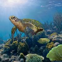 The Hawksbill Sea Turtle by I.M. Spadecaller