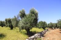 Olive trees orchid Southern Italy