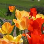"""TULIPS Art Prints Red Orange Yellow Tulip Flowers"" by BasleeTroutman"