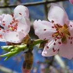 """Spring Peach Blossom Flowers"" by vpicks"