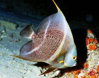 French Angelfish Juvenile. Almost Adult
