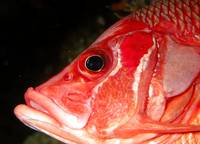 Squirrelfish Close