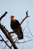 Northern Crested-Caracara