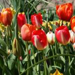 """Tulips Gardens Art Prints Red Orange Tulip Floral"" by BasleeTroutman"