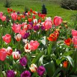"""Spring Gardens Tulip Flowers Tulips Art Prints"" by BasleeTroutman"