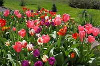 Spring Gardens Tulip Flowers Tulips Art Prints