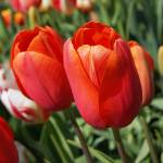 """Red Tulips pink orange Spring Tulip Flowers"" by BasleeTroutman"