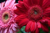Daisies pink and red
