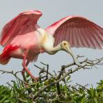 """Roseate Spoonbill 7404"" by scott2403"