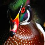 """Wood Duck"" by scott2403"